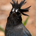 Stellar's Jay With Rock Star Hair by Max Allen
