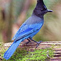 Steller's Jay IIi by Randall Ingalls