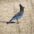 Stellers Jay In Bryce Canyon by Jemmy Archer