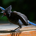 Stellers Jay - Young by Sue Harper
