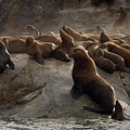 Stellers Sea Lions Eumetopias Jubatus by Ralph Lee Hopkins