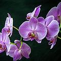 Stem Of Orchids  by John Bartelt