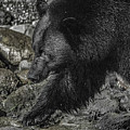 Stepping Into The Creek Black Bear by Roxy Hurtubise