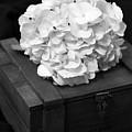 Still Life Of The Hydrangea by Terri Morris