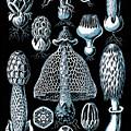 Stinkhorn Mushrooms Vintage Illustration by Edward Fielding