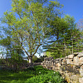 Stone Fence And White Birch In Spring, Freeport, Maine  -12817 by John Bald