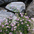 Stone Flowers Pink by Doug Mills