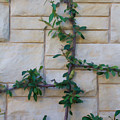 Stone Wall Vine by Henry Fitzthum