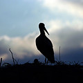 Stork In Evening Light by Cliff Norton