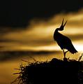 Stork In Sunset by Dean Bertoncelj