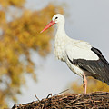 Stork On A Nest, Trees In The Background by Nick Biemans