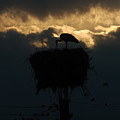 Stork With Evening Sun Light  by Cliff Norton