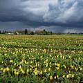 Storm Over Tulips by Jean Noren