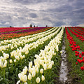 Storm Over Tulips by Mike  Dawson