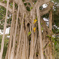 Strangler Fig by Claudia M Photography
