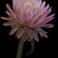 Straw Flower by Sandra Foster