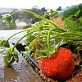 Strawberries And Rain by Bridgette Gomes