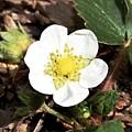 Strawberry Flower 1 by Galen Puronen