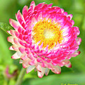 Strawflower by A Gurmankin