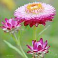 Strawflower Blossoms by A Gurmankin
