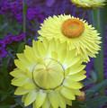 Strawflower Perfection  by Cathy Klopfenstein