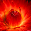 Strawflower Sombrero by Venetta Archer