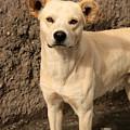 Stray White Dog by Robert Hamm