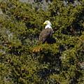 Streamside Eagle by Harry Moulton
