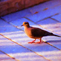 Street Dove by Jan Amiss Photography