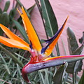 Strelitzia Double Bloom by Richard Riley