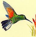 Stripe Tailed Hummingbird by Michael Vigliotti