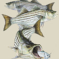 Striped Bass by Kevin Brant