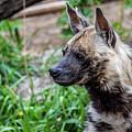 Striped Hyena by Michael Putthoff