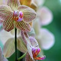 Striped Orchid 1 by Kristina Jones