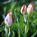 Striped Tulips In Spring by Marilyn Hunt