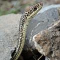 Striped Whipsnake, Masticophis Taeniatus by Breck Bartholomew
