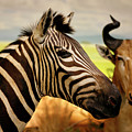 Stripes And Horns 2 by Marilyn Hunt