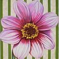 Stripes-dahlia I by Carol Sabo