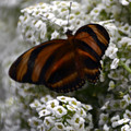 Stripes On Petals by Mithayil Lee