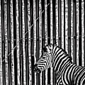 Stripes by Sheila Smart Fine Art Photography