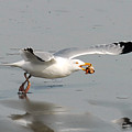 Stripped Billed Gull With Shell by Alan Lenk