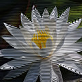 Stripped Waterlily by Donna Bentley