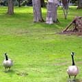 Strolling Canadian Geese by Maro Kentros