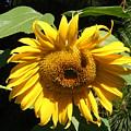 Strolling Through The Sunflowers by Gail Salitui