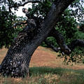 Strong Old Oak by Kathy Yates