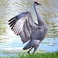 Strutting Sandhill Crane by Carol Groenen