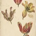 Studies Of Four Tulips, Elias Van Nijmegen, C. 1700 - C. 1725 by Elias van Nijmegen