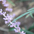 Study In Purple Monkey Grass Bloom by Paula Coley
