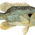 Study Of A Green Sunfish by Thom Glace