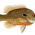 Study Of A Longear Sunfish by Thom Glace